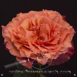 Rose Free Spirit 50 cm
