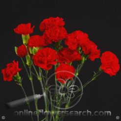 Carnation Mini Red Fancy