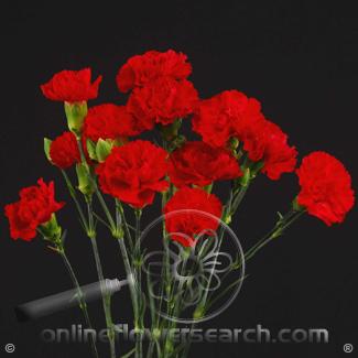 Carnation Mini Red Fancy