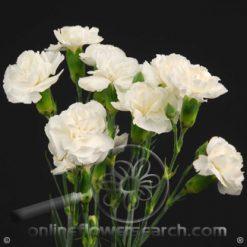 Carnation Mini White Fancy