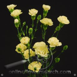 Carnation Mini Yellow Fancy