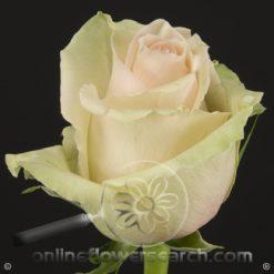 Rose La Perla 60 cm