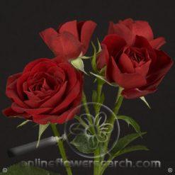 Spray Rose Rubicon 50 cm