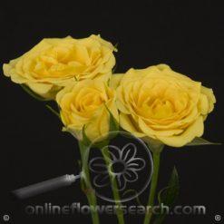 Spray Rose Yellow Babe 50 cm