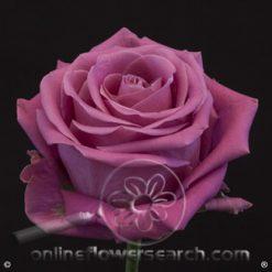 Rose Soulmate 50 cm