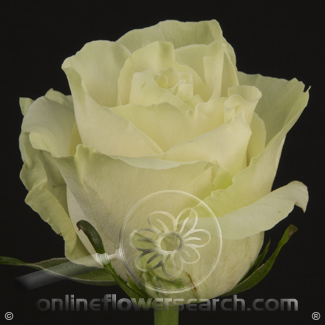 Rose Mondial 70 cm