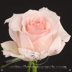 Rose Nena 60 cm