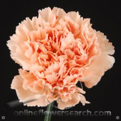 Carnation Peach Select - Novia or similar