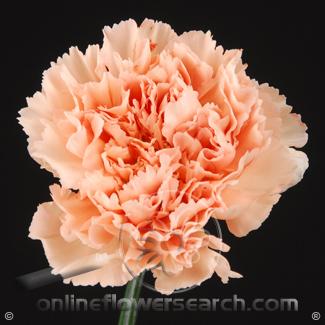 Carnation Peach Select - Novia or similar