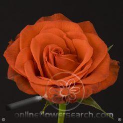 Rose Santana 50 cm