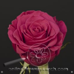 Rose Roseberry 50 cm
