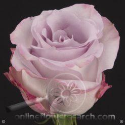 Rose Purple Haze 60 cm