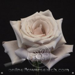 Rose Mother of Pearl 60 cm