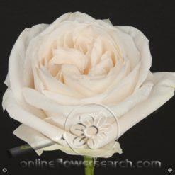 Rose White O'Hara 50 cm