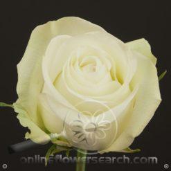 Rose Alba 60 cm