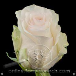 Rose Senorita 60 cm