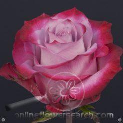 Rose Deep Purple 60 cm