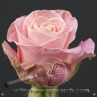 Rose Hermosa 60 cm