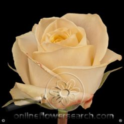 Rose Tiffany 60 cm