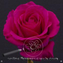 Rose Pink Floyd 60 cm