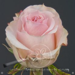 Rose Girlfriend 50 cm