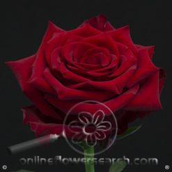 Rose Explorer 80 cm
