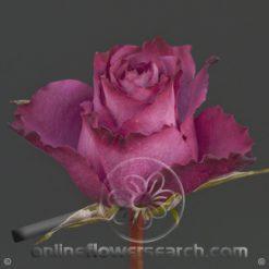 Rose Blueberry 40 cm