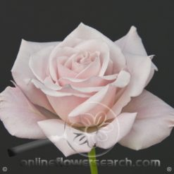 Rose Sweet Escimo 60 cm