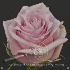 Rose Nautica 60 cm
