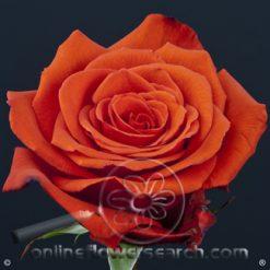 Rose Nina 60 cm