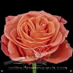 Rose Orange Crush 60 cm