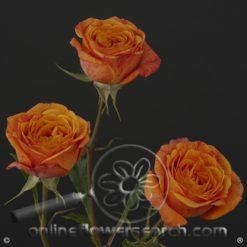 Spray Rose Royal Flash 50 cm