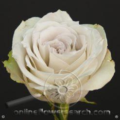 Rose Early Grey 50 cm