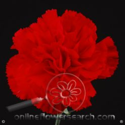 Carnation Red Select - Don Pedro/Grand Sole/Pomodoro or similar