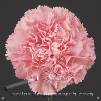 Carnation Light Pink Select - Misuki or similar