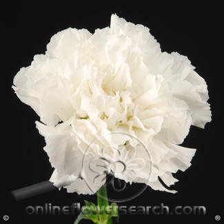 Carnation White Select - Moonlight or similar