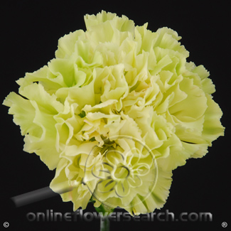 Carnation Green Select - Prado Mint