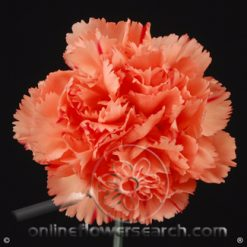 Carnation Orange Select - Hermes Orange