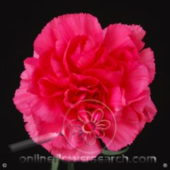 Carnation Hot Pink Select - Mandalay