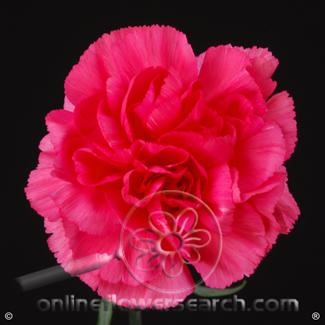Carnation Hot Pink Select - Mandalay