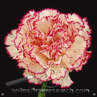 Carnation Peppermint Select - Montoya or similar