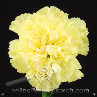 Carnation Yellow Select - Giole