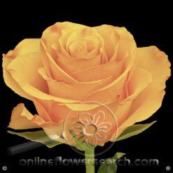 Rose Tycoon 50 cm