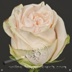 Rose Wedding Spirit 50 cm