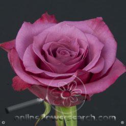 Rose Shogun 50 cm