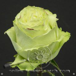 Rose Lemonade 70 cm