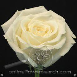 Rose Playa Blanca 60 cm