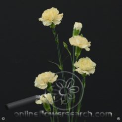 Carnation Mini Cream Fancy