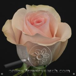 Rose Novia 50 cm