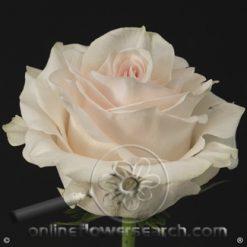 Rose Pastella 60 cm